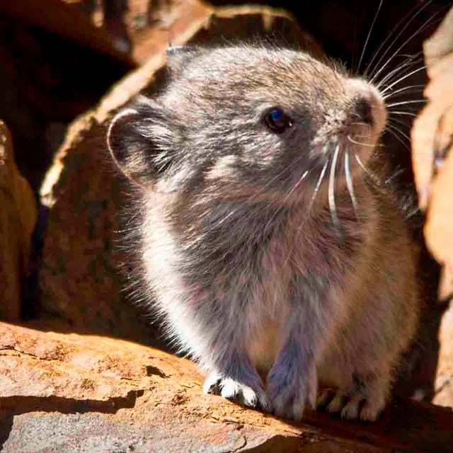 A pika peeks out from a crevice in a rock field.