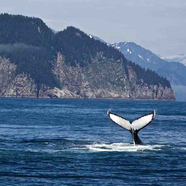 A whale dives and shows its tail flukes off the wild coast.