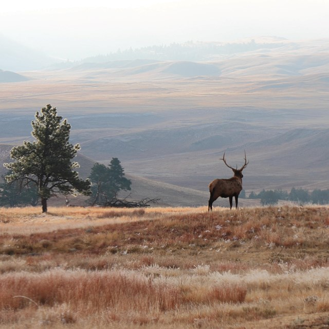 a bull elk looks out onto a misty hillside