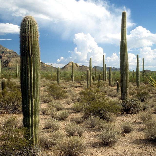 Several tall, thin cacti with a blue sky background.