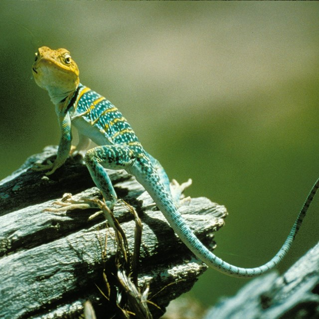 a green lizard with a yellow head