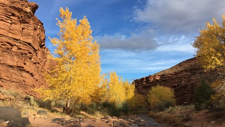 Creek in canyon with cliffs, yellow cottonwood trees, and blue sky.
