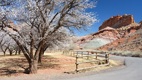 Apricot trees in bloom along a road, beneath colorful red and gray cliffs and blue sky.