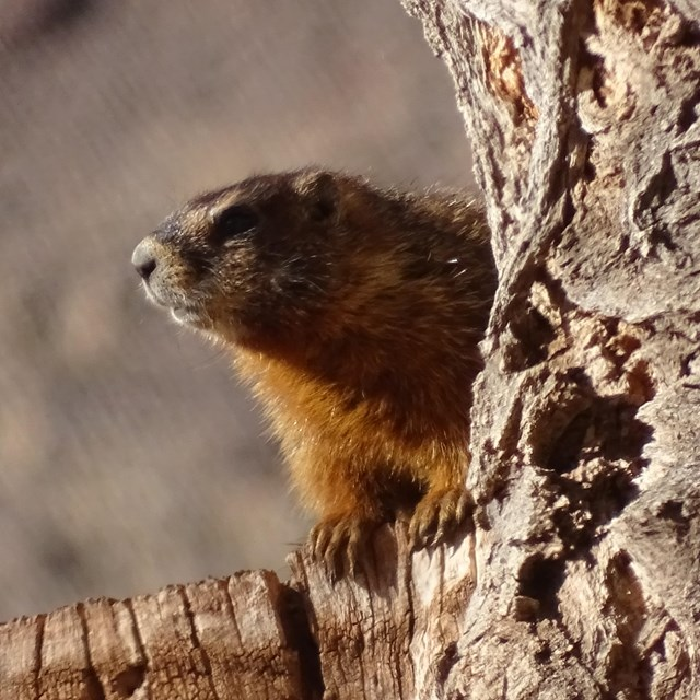 A large rodent with yellowish brown fur peeks out from behind a light brown tree with furrowed bark