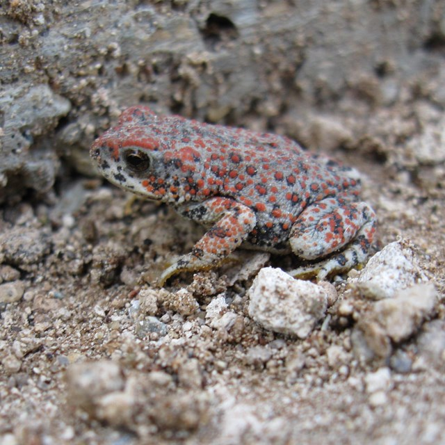 A gray toad with plentiful red dots sits in gray sand and small stones.