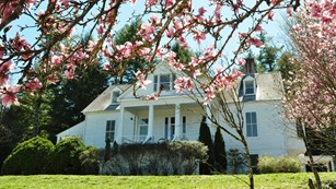 Tulip Magnolia tree in full bloom in front of the Sandburg Home