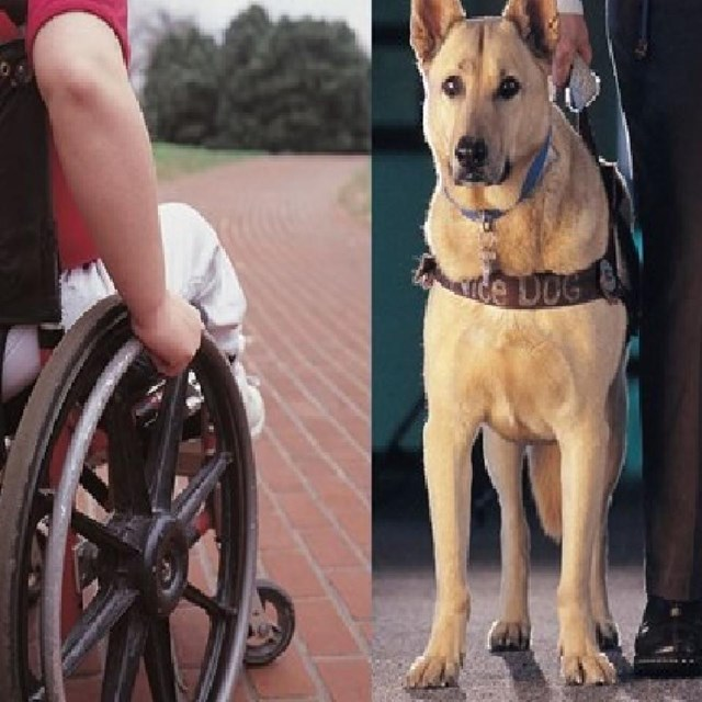 Wheel chair and service dog.
