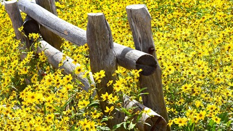 meadow of yellow wildflowers and a wood fence.
