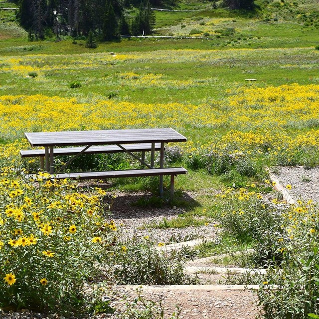 Picnic table and tent site surrounded by yellow wildflowers.