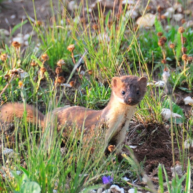 Long tailed weasel standing in grass.