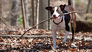 Dog with stick running at you.