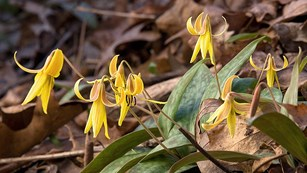 Photograph of a cluster of Yellow Trout Lily's in bloom.