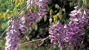 Bloom of a Nonnative Wisteria