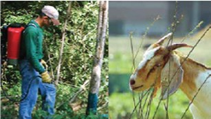 Left photo shows man spraying plants right photo shows goat eating plants.