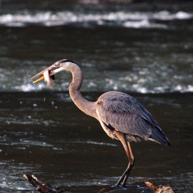 A Great Blue Heron wades the river after catching a small fish for lunch.