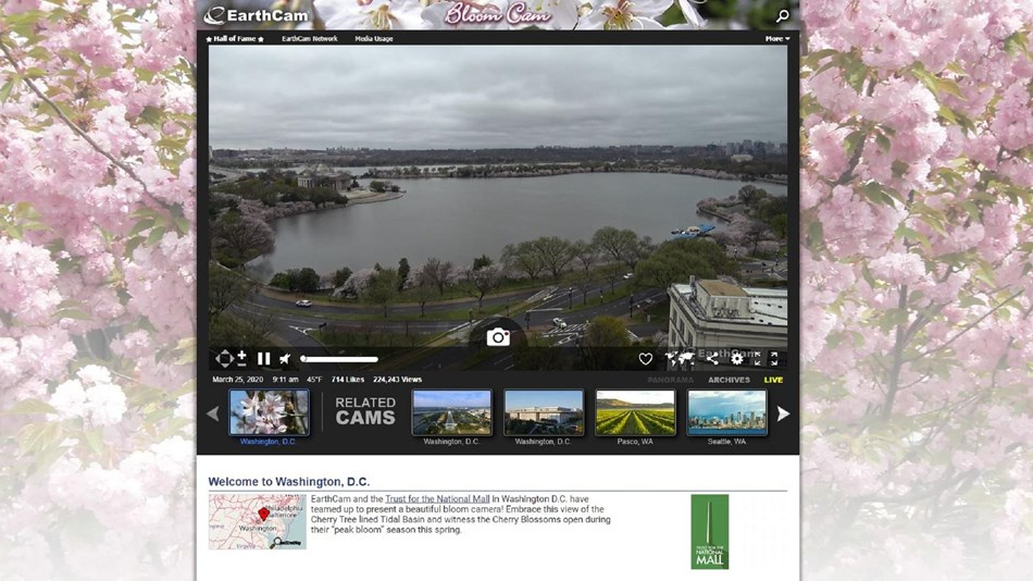 Cherry Blossom Bloom Cam shot of the Tidal Basin
