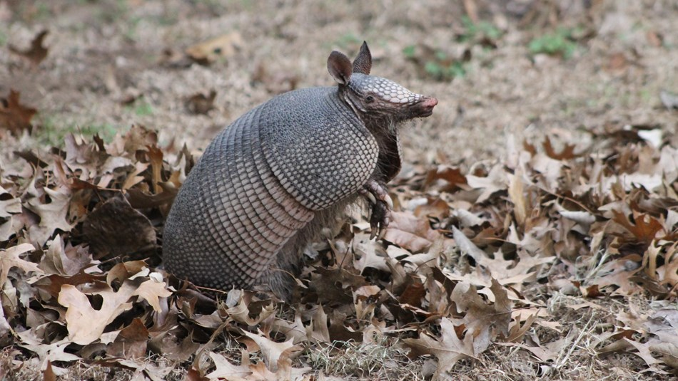 An armadillo stands with its front feet raised while it sniffs at the air.