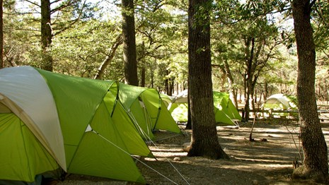 Tents set up in a pine forest