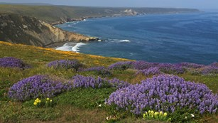 Yellow, purple, and gold flowers on coastal bluff. ©Tim Hauf, timhaufphotography.com
