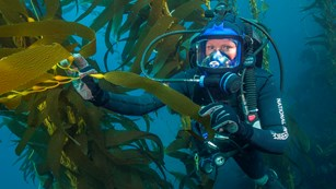 Park ranger SCUBA diving in kelp forest.