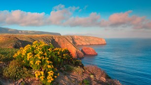 Yellow flowered coreopsis overlooking ocean bluffs. ©Tim Hauf, timhaufphotography.com