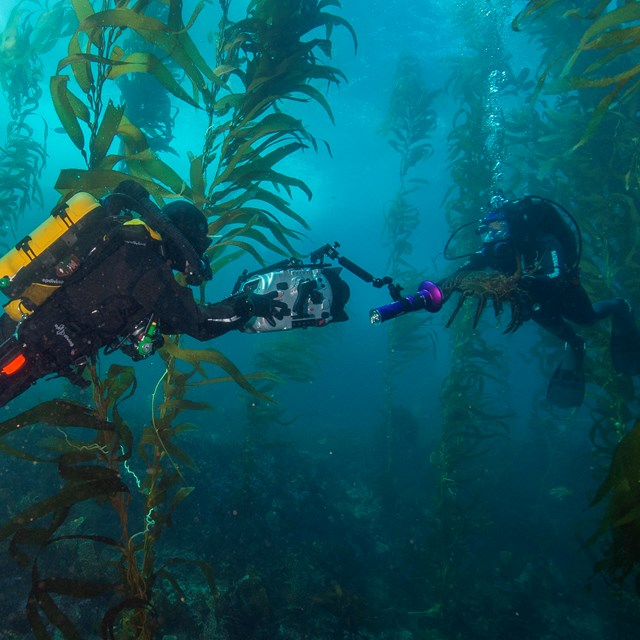 Diver with lobster in kelp forest.©Brett Seymour, National Park Service