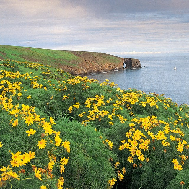 Steep coastal bluffs covered in yellow flowers.