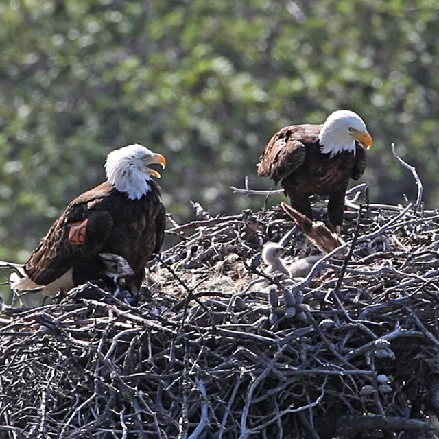 Two adult bald eagles in nest witch chick.