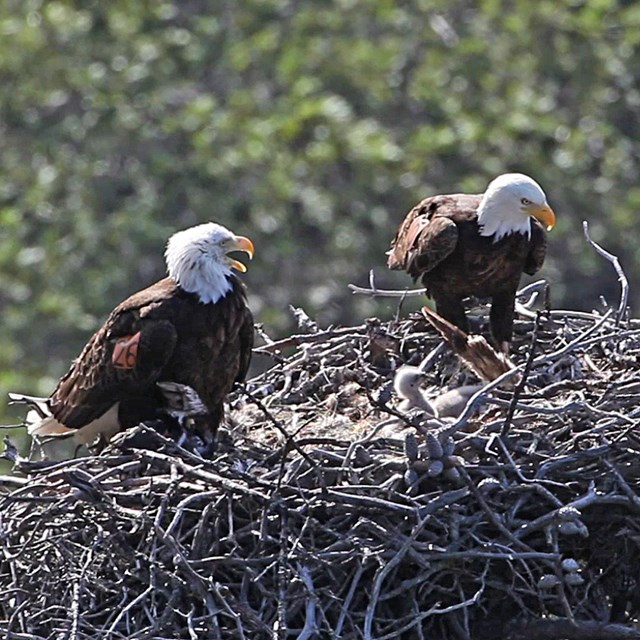 Adult eagles in nest with chick.