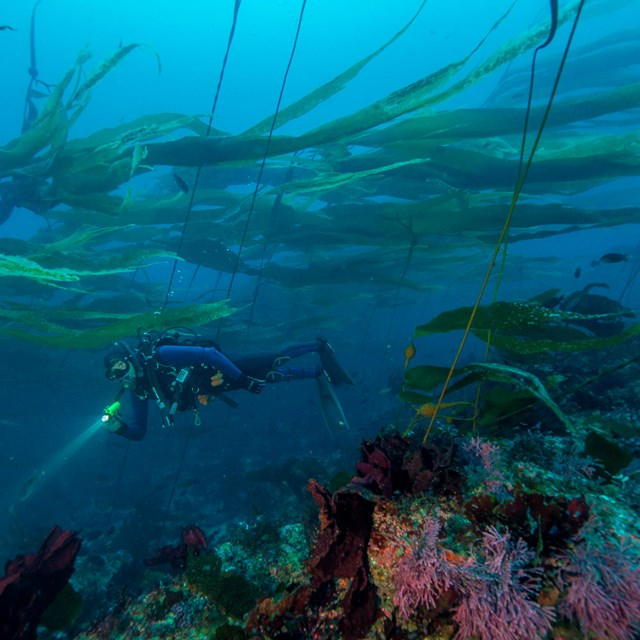 Diver in kelp forest. ©Brett Seymour, National Park Service