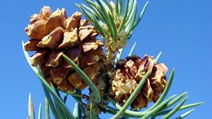A single-leaf pinyon pine holds two cones with ripe pine nuts