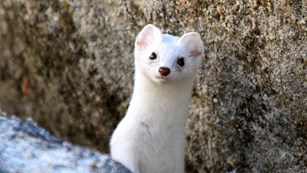 Close up of a white short-tailed weasel.