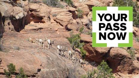 The Your Pass Now logo over a photo of bighorn sheep on a rocky slope