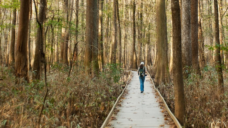 A lone visitor walks through the forest along the Boardwalk.