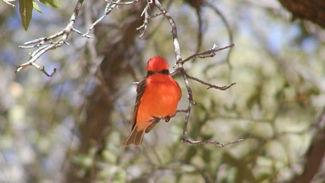 Bright red bird perches on a small branch