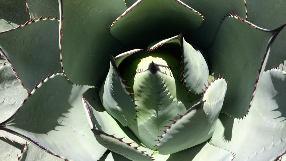 A closeup of an agave plant