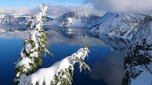 Mountain hemlocks cling to the icy rim of the Crater Lake caldera.