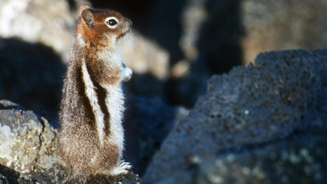 a golden-mantled ground squirrel sits upright on rock
