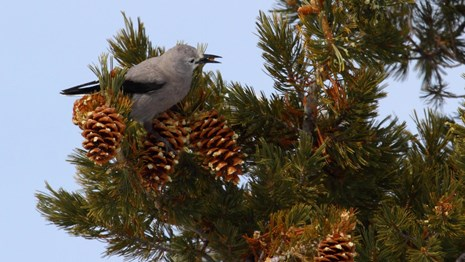 A gray and black Clark's nutcracker perches on a limber pine.