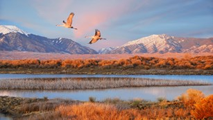 Two sandhill cranes flying over a marsh with snow-capped mountains in the distance