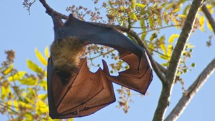 bat with wings outsretched hanging from yellow leafy tree