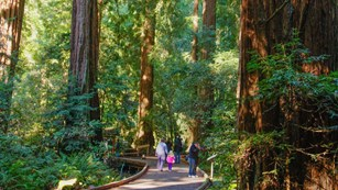 Visitors on a boardwalk next to redwood trees
