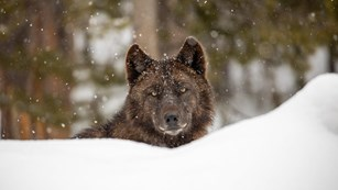 Brown wolf in the snow