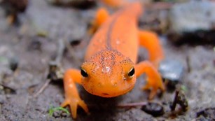 Orange-colored newt walking on a rock