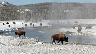 Herd of bison by a thermal area blanketed with snow