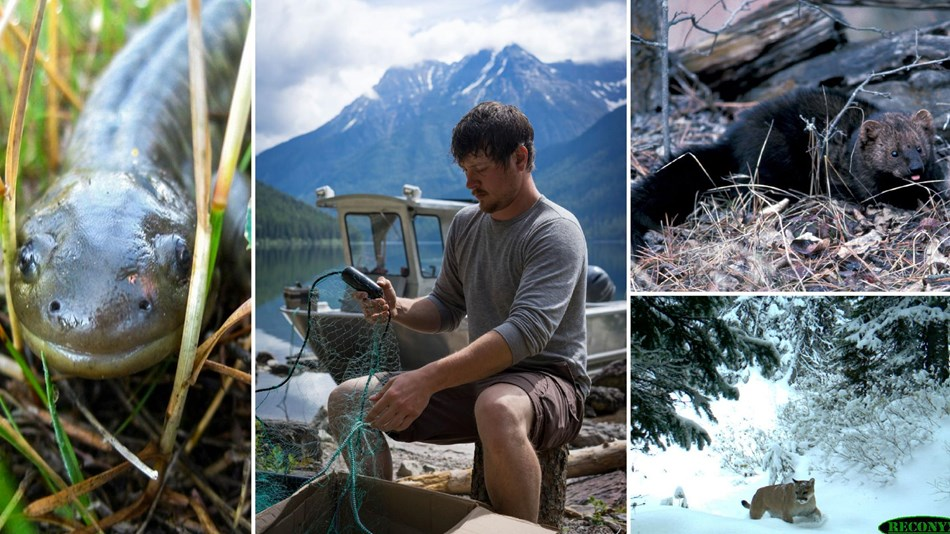 A collage of a salamander, fisheries biologist, fisher, and mountain lion.