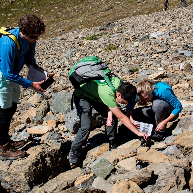 Two boys and a citizen science intern look for pika scat on a slope of loose rocks.