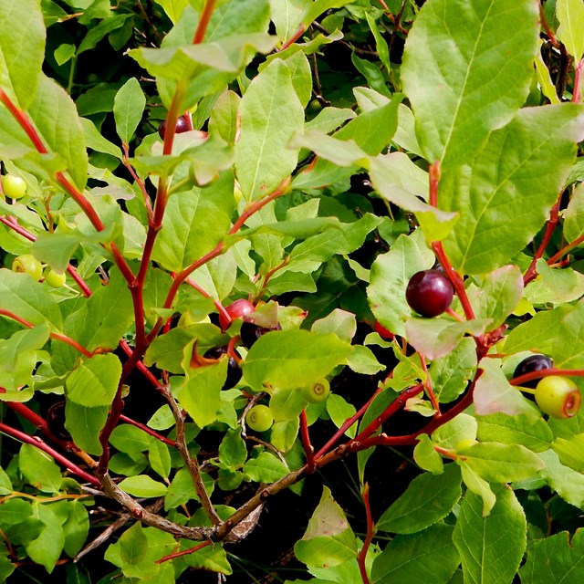 Red and purple huckleberries pop out against the huckleberry plant's green leaves.