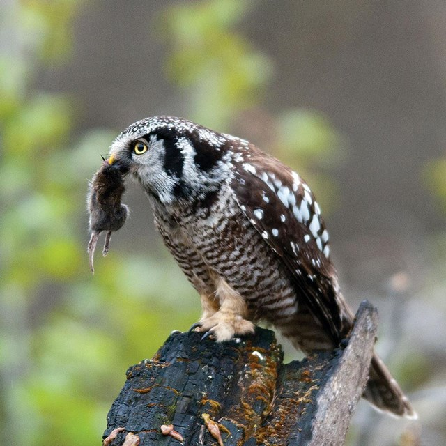 A vole dangles from the beak of a perched northern hawk owl.