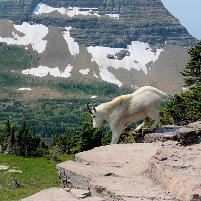 A mountain goat heads downslope at Logan Pass.